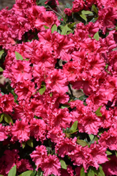 Red Ruffles Azalea (Rhododendron 'Red Ruffles') at All Seasons Nursery