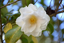 Victory White Camellia (Camellia japonica 'Victory White') at All Seasons Nursery