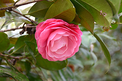Nuccio's Cameo Camellia (Camellia japonica 'Nuccio's Cameo') at All Seasons Nursery