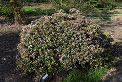 Eleanor Taber™ Indian Hawthorn (Rhaphiolepis indica 'Conor') at All Seasons Nursery
