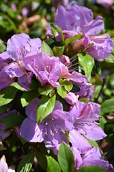 Encore® Autumn Lilac™ Azalea (Rhododendron 'Robles') at All Seasons Nursery