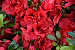 Encore® Autumn Fire™ Azalea (Rhododendron 'Roblez') at All Seasons Nursery