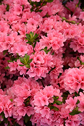 Coral Bells Azalea (Rhododendron 'Coral Bells') at All Seasons Nursery