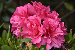Encore® Autumn Carnival™ Azalea (Rhododendron 'Conlet') at All Seasons Nursery