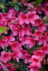 Encore® Autumn Ruby™ Azalea (Rhododendron 'Conler') at All Seasons Nursery