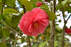 Governor Mouton Camellia (Camellia japonica 'Governor Mouton') at All Seasons Nursery