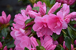 Pink Ruffles Azalea (Rhododendron 'Pink Ruffles') at All Seasons Nursery