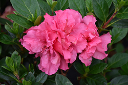 Bloom-A-Thon® Pink Double Azalea (Rhododendron 'RLH1-2P8') at All Seasons Nursery
