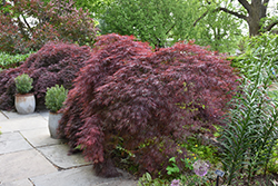 Crimson Queen Japanese Maple (Acer palmatum 'Crimson Queen') at All Seasons Nursery