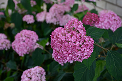 Bella Anna Hydrangea (Hydrangea arborescens 'Bella Anna') at All Seasons Nursery
