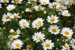 Pure White Butterfly™ Marguerite Daisy (Argyranthemum frutescens 'G14420') at All Seasons Nursery