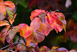 Persian Lace (Parrotia persica) at All Seasons Nursery