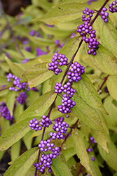 Early Amethyst Beautyberry (Callicarpa dichotoma 'Early Amethyst') at All Seasons Nursery