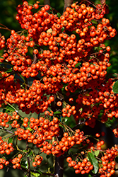 Mohave Firethorn (Pyracantha 'Mohave') at All Seasons Nursery