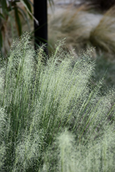 White Cloud Muhly Grass (Muhlenbergia capillaris 'White Cloud') at All Seasons Nursery