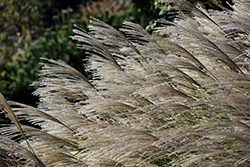 Gracillimus Maiden Grass (Miscanthus sinensis 'Gracillimus') at All Seasons Nursery