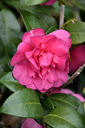 William Lanier Hunt Camellia (Camellia sasanqua 'William Lanier Hunt') at All Seasons Nursery