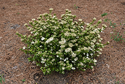 Dwarf Walter's Viburnum (Viburnum obovatum 'Compactum') at All Seasons Nursery