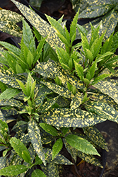 Dwarf Variegated Japanese Aucuba (Aucuba japonica 'Variegata Nana') at All Seasons Nursery