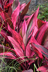 Red Sister Hawaiian Ti Plant (Cordyline fruticosa 'Red Sister') at All Seasons Nursery