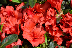 Encore® Autumn Embers™ Azalea (Rhododendron 'Conleb') at All Seasons Nursery
