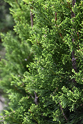 Brodie Redcedar (Juniperus virginiana 'Brodie') at All Seasons Nursery