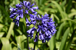 Ever Sapphire™ Agapanthus (Agapanthus 'ANDbin') at All Seasons Nursery