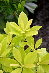 BananAppeal® Anise (Illicium parviflorum 'PIIIP-I') at All Seasons Nursery