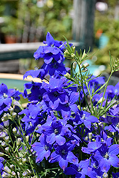 Diamonds Blue Delphinium (Delphinium grandiflorum 'Diamonds Blue') at All Seasons Nursery