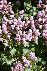 Pink Pewter Spotted Dead Nettle (Lamium maculatum 'Pink Pewter') at All Seasons Nursery