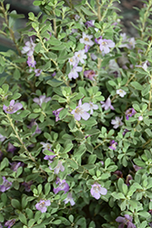 Desperado® Texas Sage (Leucophyllum frutescens 'Greado') at All Seasons Nursery