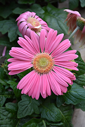 Pink Gerbera Daisy (Gerbera 'Pink') at All Seasons Nursery