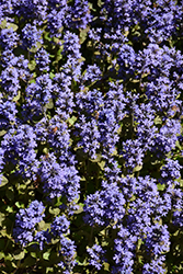 Common Bugleweed (Ajuga reptans) at All Seasons Nursery